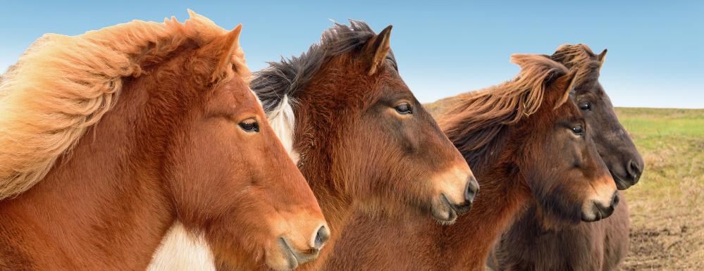 pferde zum kaufen